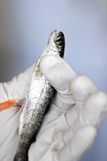 Fish_Vaccine
